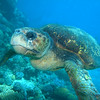 Sea Turtle, Michaelmas Cay (Photo by Ocean Spirit Photographer), Cairnes