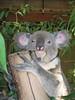 Koala awake.