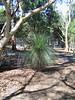 Grass Tree (Xanthorrhoea australis).