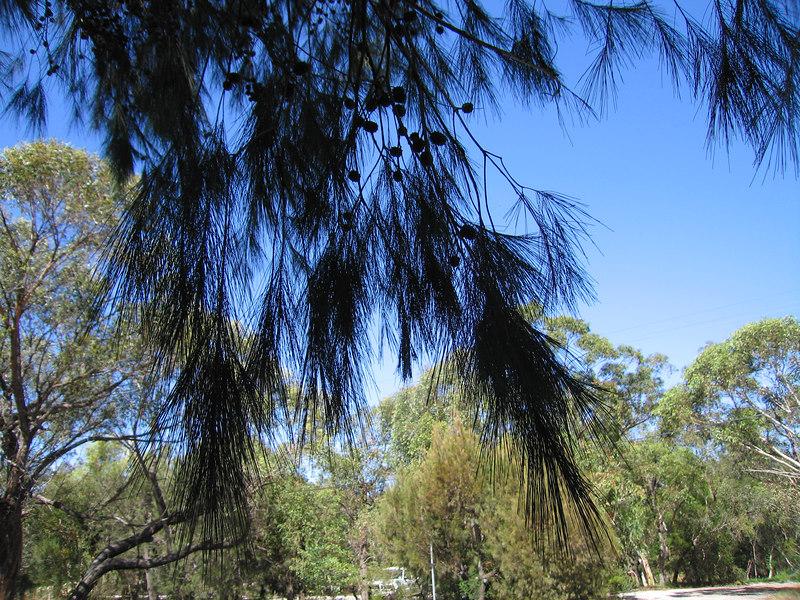 She-oak (Allocasuarina littoralis) in parking lot.