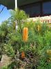 Banksia spinulosa.
