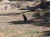 A Swamp Wallaby (Wallabia bicolor).