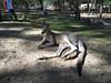 Male Eastern Grey Kangaroo