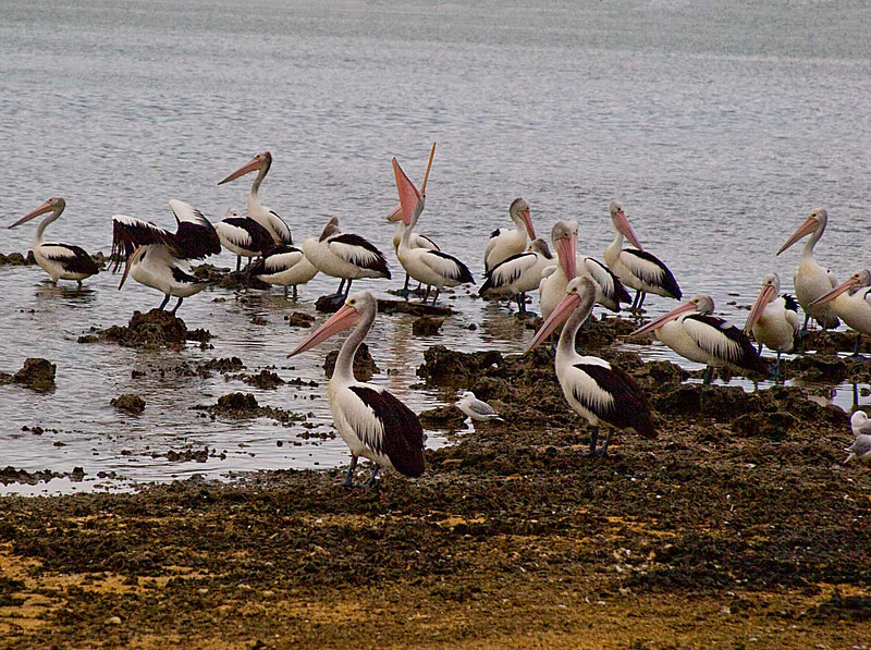 Australian pelicans near our camping site at Coorong National Park.