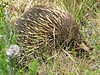 Echidna at Kennett River
