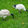 Ibis twins.