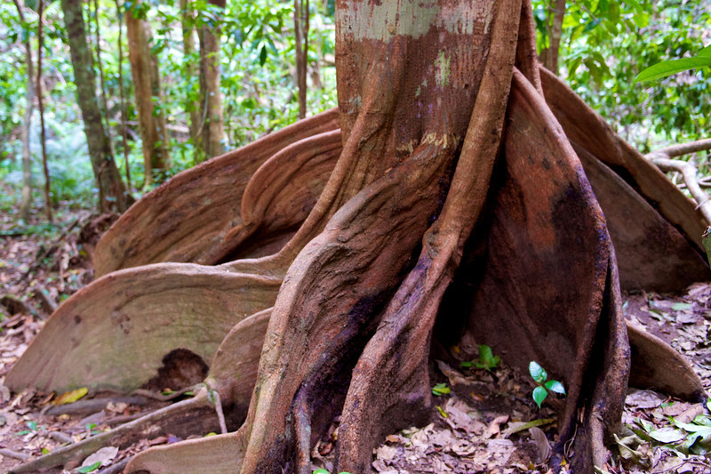 This tree has wonderful shapes and colors.  These roots are what the aborigines use to create boomerangs.