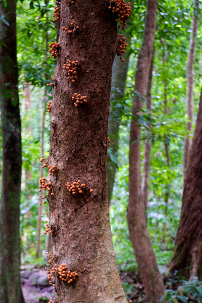 Some rainforest trees produce fruit on the trunk so that birds and butterflies can pollenate without exposing themselves to raptors in the canopy.