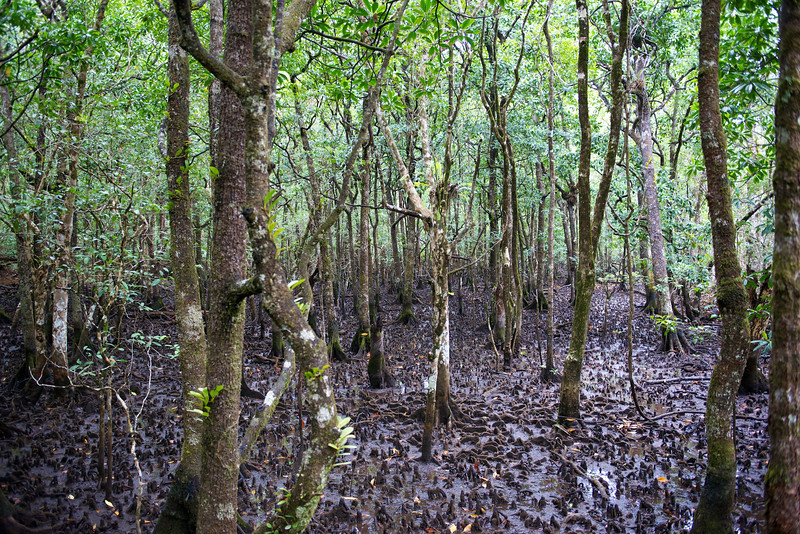 "This is a mangrove swamp.  We walked on a raised pathway over the swamp.  Those little bumps are ""snorkels"" for the tree roots to breath."