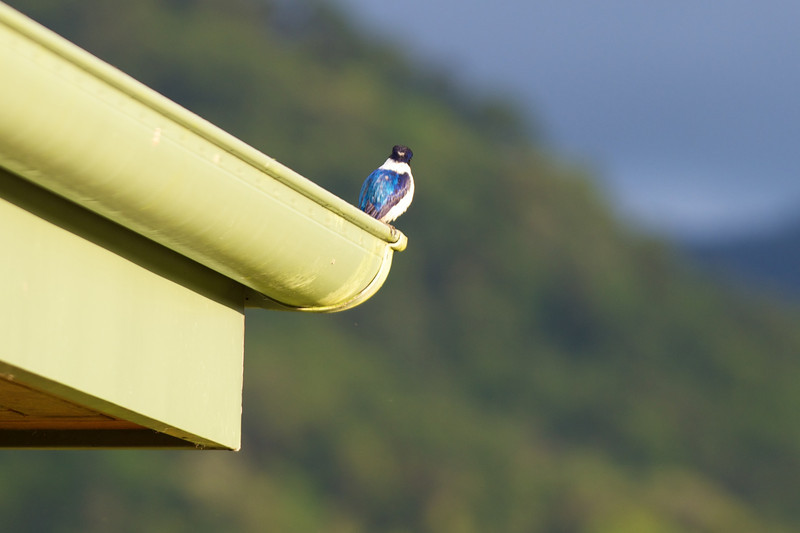 A blue kingfisher rules the roost.