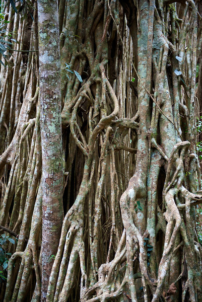 This is a close up of an absolutely huge curtain fig tree.