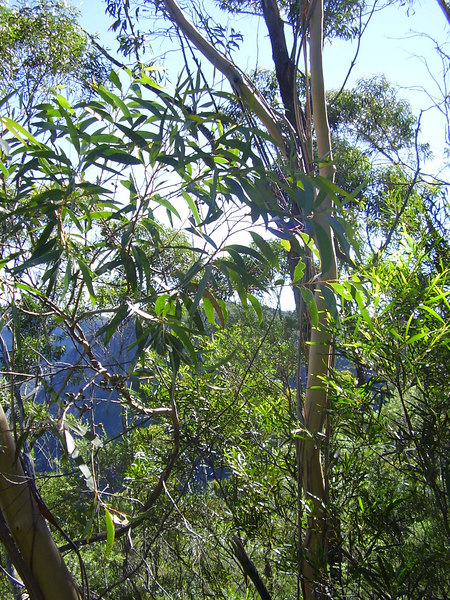 Gum Trees - Blue Mountains, NSW, Australia