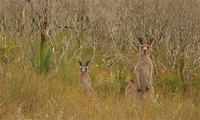 Kangoeroes @ Wilson's Promontory NP. Victoria, Australië.
