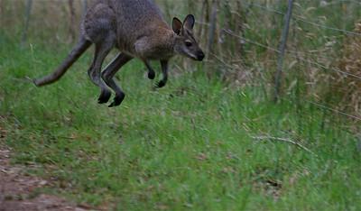 Uit de reeks: 'Jump!' Kangoeroes in Mt Eccles NP. Victoria, Australië.