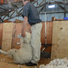 An adult sheep can be sheared in one minute!