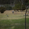 Magpie geese