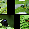 Ulysses Butterfly (upper left), Cairns Birdwing (upper right), Common Eggfly (lower left), and Australian Lurcher (lower right)