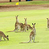Eastern Grey Kangaroos take residence on a golf course near Mareeba!