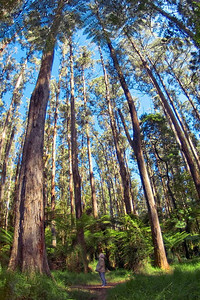 Giant eucalyptus forest, near Melbourne.