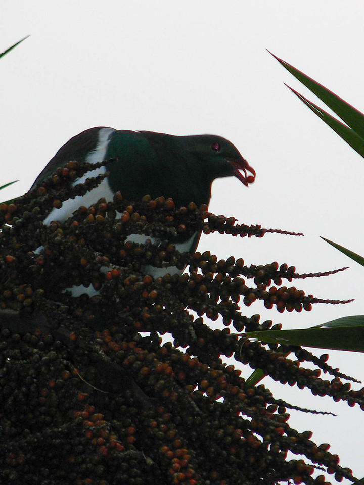 Wood pigeon eating berries at the top of a palm.