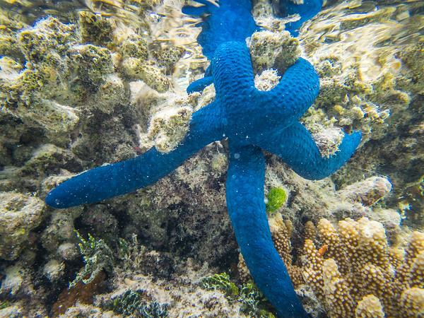 Blue Linckia Sea Star