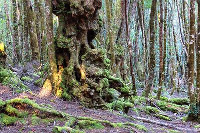 Creepy trees - Cradle Mountain Lodge