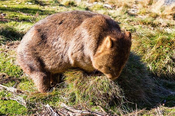 Wombat, Cradle Mt.