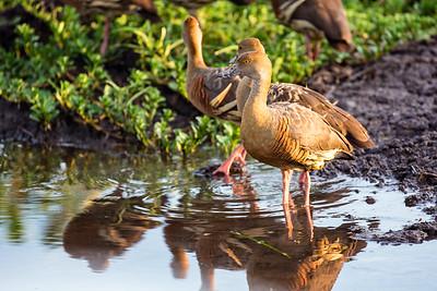 Kakadu NP - Wandering whistling duck