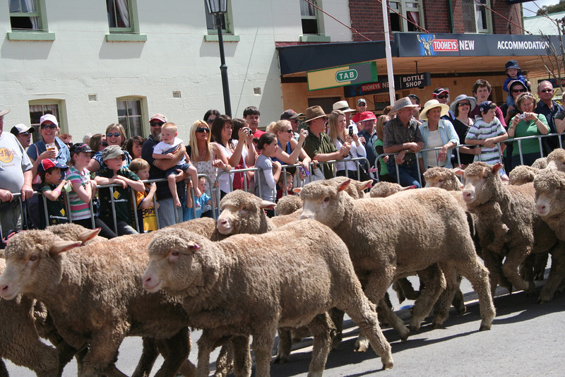 That's more like it! The Running of the Sheep, Boorowa, 5 October 2008.