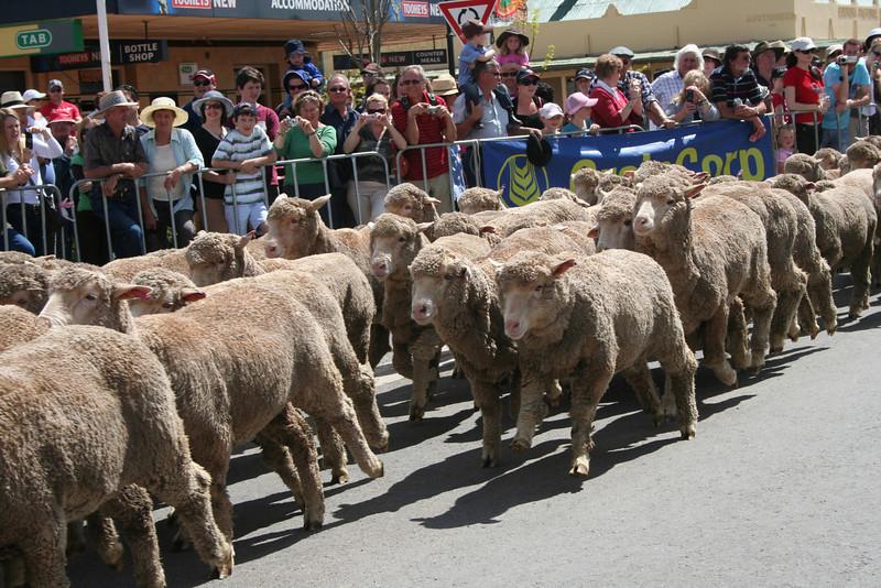 The Running of the Sheep, Boorowa, 5 October 2008.