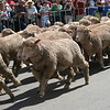 The Running of the Sheep, Boorowa, 5 October 2008.