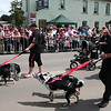 K9 Marauders on the prowl. The Running of the Sheep, Boorowa, 5 October 2008.