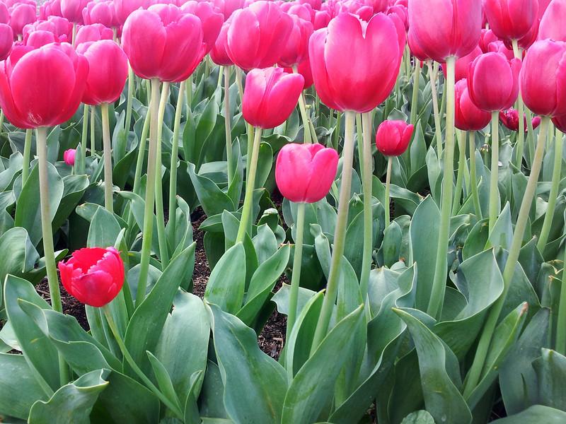 29 September, 2012: Tulip Festival, Bowral.