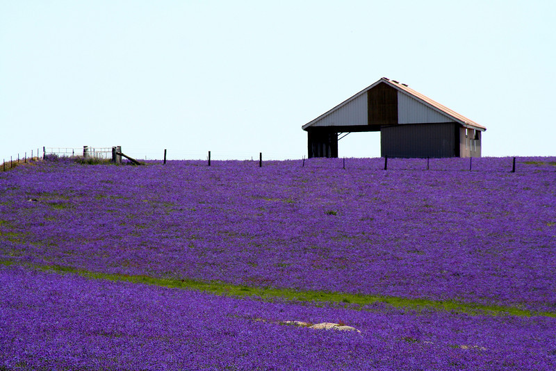 Lavender-coloured field of Patterson's Curse, near Rugby, New South Wales, 17 October, 2008. Despite appearances, Patterson's Curse is a noxious, ubiquitous weed present in many parts of rural eastern Australia. It continues to defy decades-long  eradication efforts.