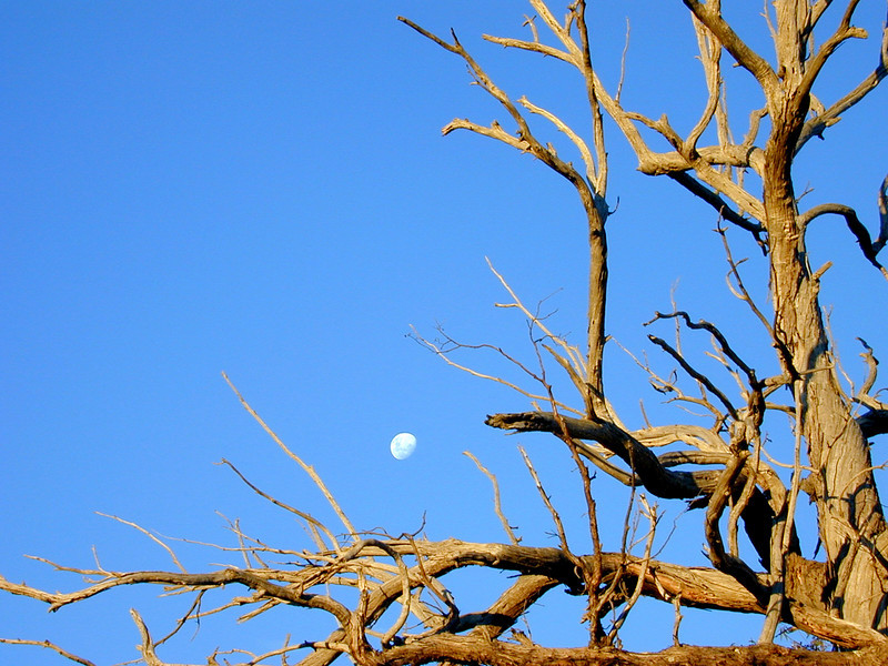 Dead eucalypt with moon, late afternoon, Reids Flat, near Boorowa.
