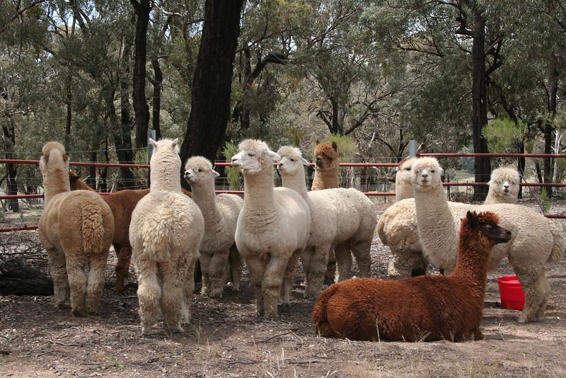 Awwwww... how cuuuute! A herd of alpacas in a roadside pen, at Reids Flat, New South Wales.