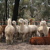 Awwwww... how cuuuute! A herd of alpacas in a roadside pen, at Reids Flat, New South Wales.