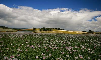 Opium poppies, Wynyard, Tasmanië, Australië.