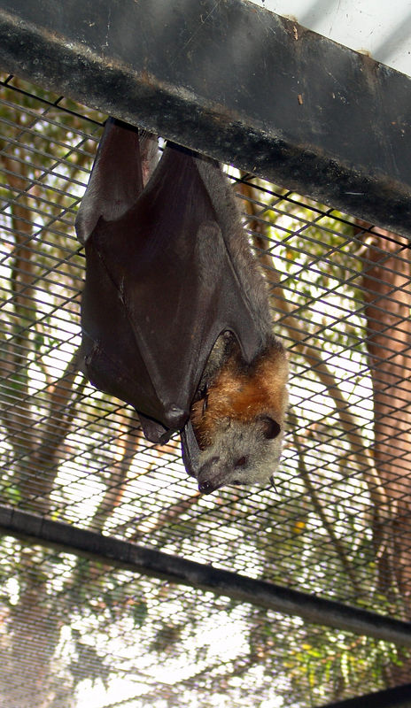 Grey-headed Flying-fox,<br /> (Pteropus poliocephalus) The only place where you cound get into the enclosure with bats..Very Cool!<br /> Featherdale Animal Park