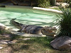 Saltwater crocodile<br /> (Crocodylus porosus)<br /> Featherdale Animal Park