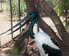 Black-necked Stork or Jabiru <br /> (Ehippiorhynchus asiaticus)<br /> Featherdale Wildlife Park.