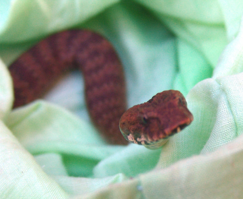 Common Death Adder (Acanthophis antarcticus) Dharug NP