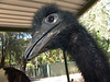 Emu<br /> (Dromaius novaehollandiae)<br /> What a freaky Emu this one is!  Very intent of getting some goodies from a little kid.  Featherdale Wildlife Park