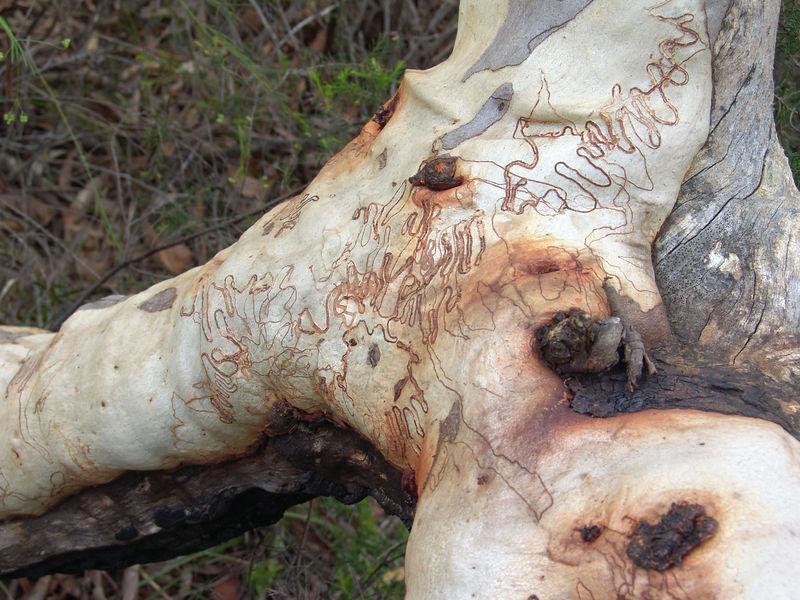 """Looks like """"worm tracks"""" on this bark"""