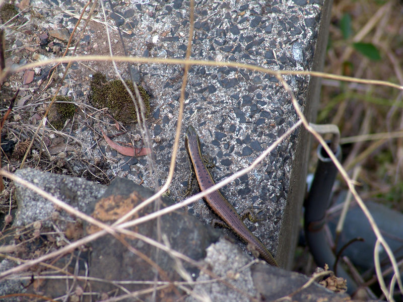 Eastern Water Skink <br /> (Eulamprus quoyii)