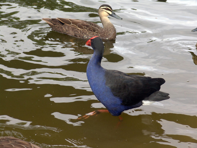 Purple Swamp Hen, Porphyrio porphyrio<br /> Centennial Park, Sydney, NSW