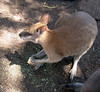 Wallaroos<br /> Featherdale Animal Park