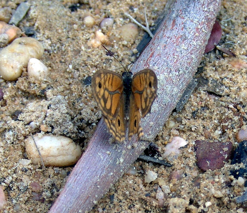 Butterfly,  These are yet unidentified   <br /> If you know what they are email me.... <br /> Ku-ring-gai Chase NP