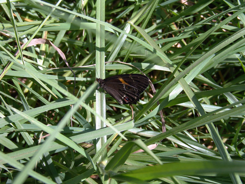 Butterfly, These are yet unidentified   <br /> If you know what they are email me.... <br /> Katoomba, NSW