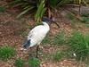 Australian Ibis (Threskiornis molucca)<br /> NSW
